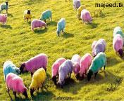 خروف العيد صور خرفان العيد